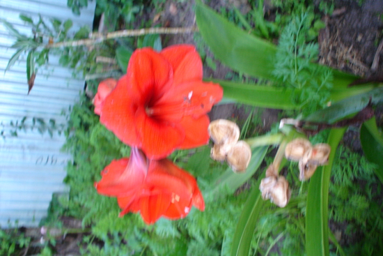 Цветок гиппеаструм  уход в домашних условиях пересадка и